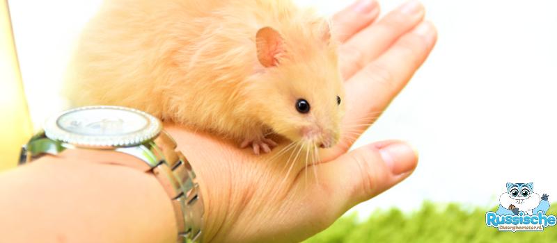syrische langhaar hamster