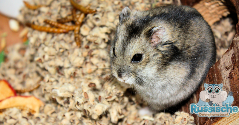 bodembedekking cotton hamster