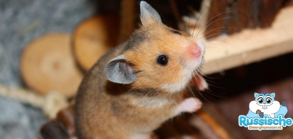 syrische hamster de russische dwerghamster. Black Bedroom Furniture Sets. Home Design Ideas